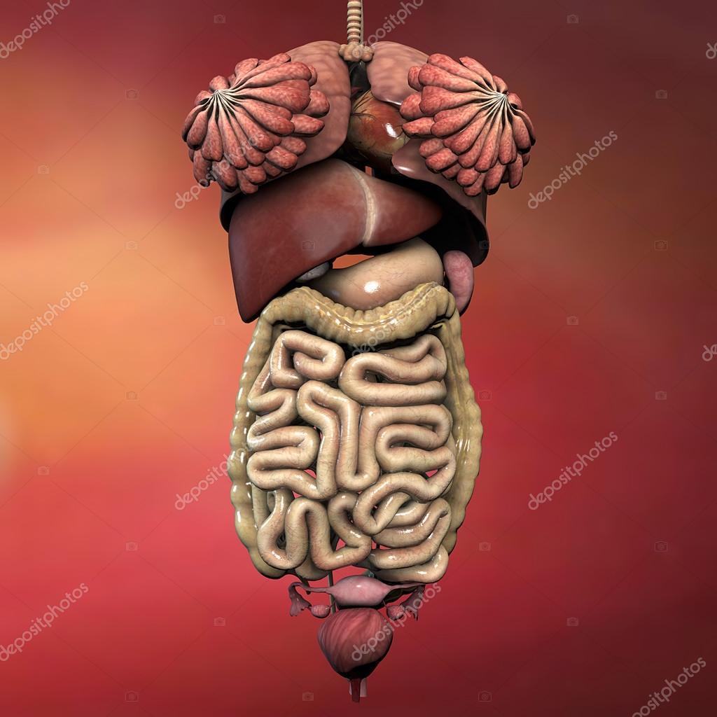 Órganos internos femeninos — Fotos de Stock © vampy1 #74944843