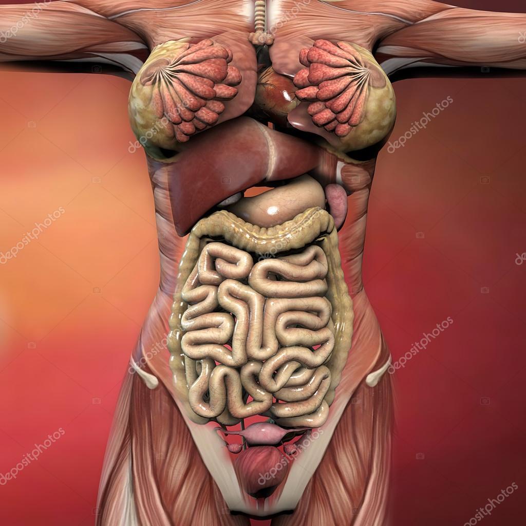 Weibliche Organe und Muskeln — Stockfoto © vampy1 #74947217