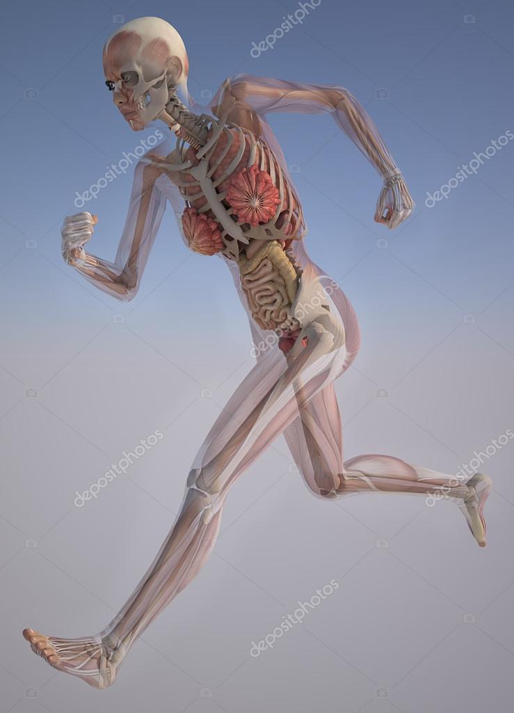 cuerpo de la mujer con los músculos esqueléticos y órganos — Fotos ...