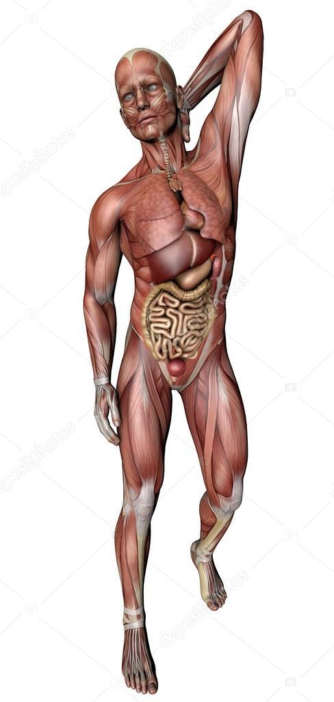 cuerpo masculino con los músculos esqueléticos y órganos — Fotos de ...