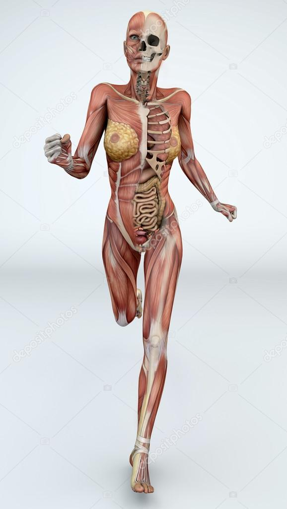 Female Body With Skeletal Muscles And Organs Stock Photo Vampy1