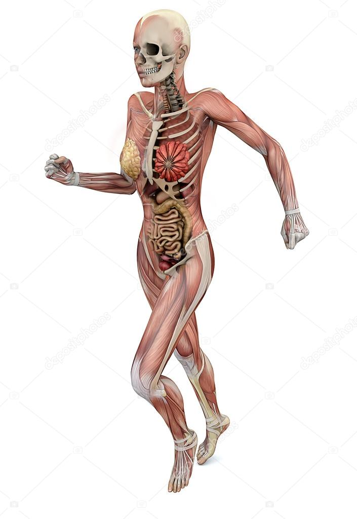 female body with skeletal muscles and organs — Stock Photo © vampy1 ...