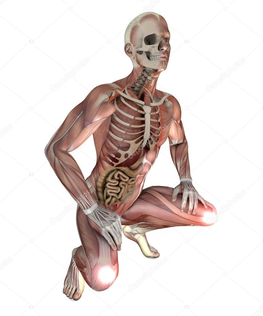 male body with skeletal muscles and organs — Stock Photo © vampy1 ...