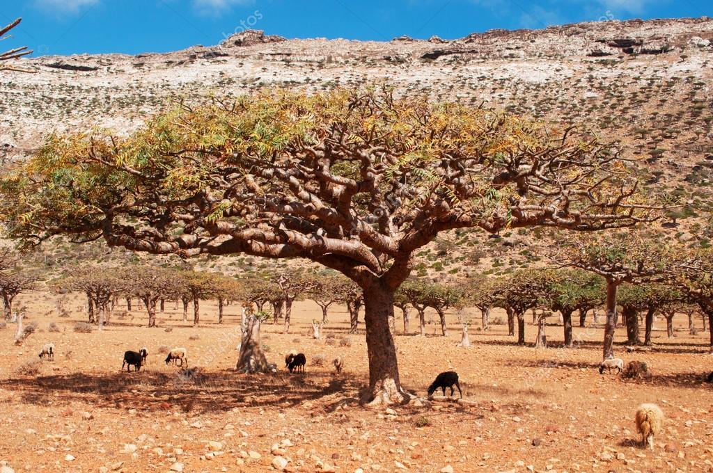 Goats under a Dragon Blood tree in Homhil Plateau, Socotra, Yemen