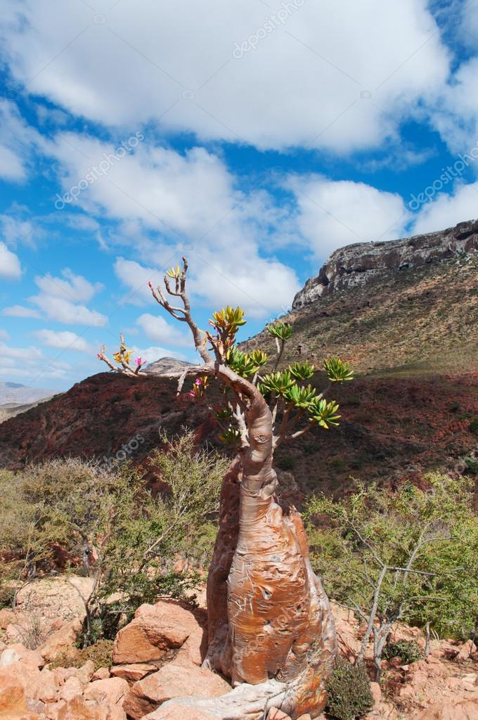 Socotra, Yemen: flowering Dendrosicyos socotranus, cucumber tree, known as bottle tree, endemic species of the island, the only species in the Cucurbitaceae to grow in a tree form, seen in the Dragon Blood trees forest of the Homhil Plateau