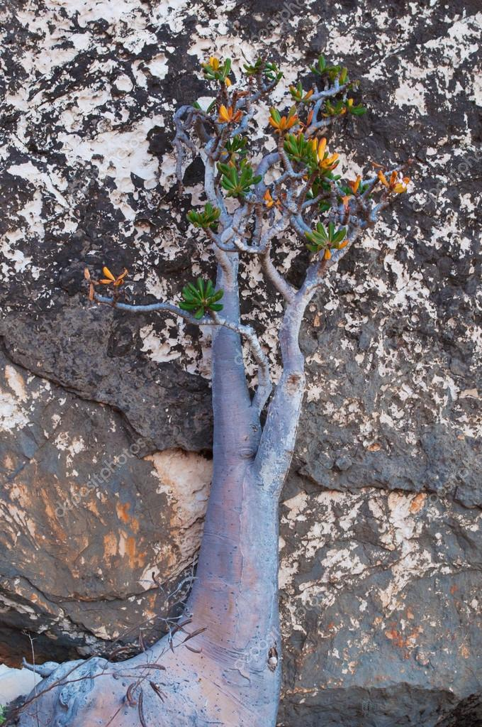 Socotra, Yemen, Middle East: flowering Dendrosicyos socotranus, cucumber tree, known as bottle tree, endemic species of the island, the only species in the Cucurbitaceae to grow in a tree form, in the Dragon Blood trees forest of the Homhil Plateau
