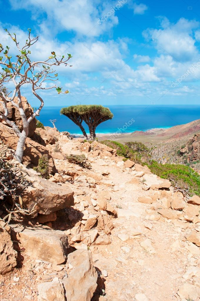 Socotra, Yemen, Middle East: flowering Dendrosicyos socotranus, known as bottle tree, and Dragon Blood trees, endemic species of the island, seen in the Dragon Blood trees forest of the Homhil Plateau with view of the Arabian Sea
