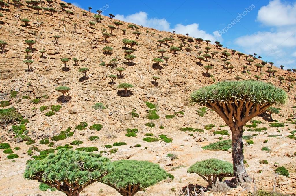 Flowering Bottle trees and Dragon Blood trees, Socotra, Yemen