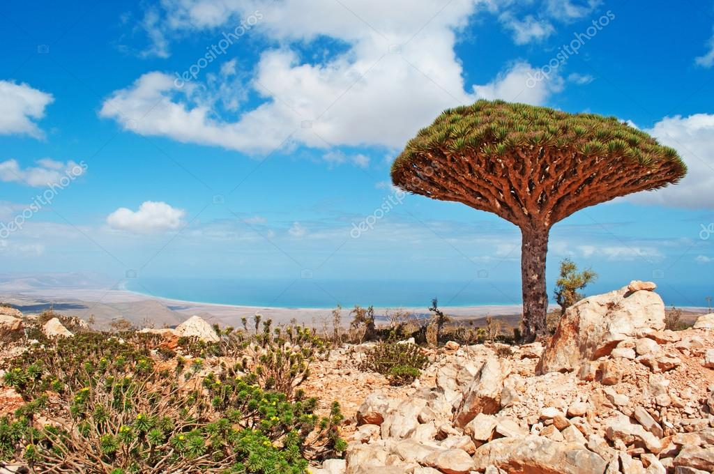 Socotra, Yemen, Middle East: a Dragon Blood tree with overview of the Arabian Sea in the island which is home to a high number of endemic species and center of unique biodiversity