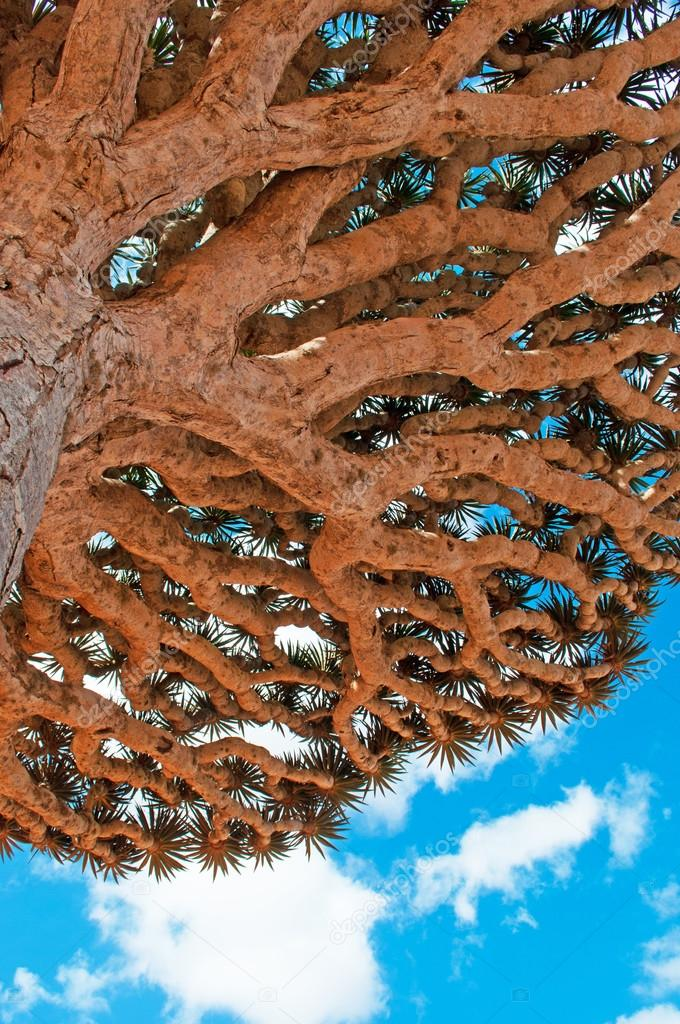 Dragon Blood trees branches, Socotra, symbol of the island, Yemen