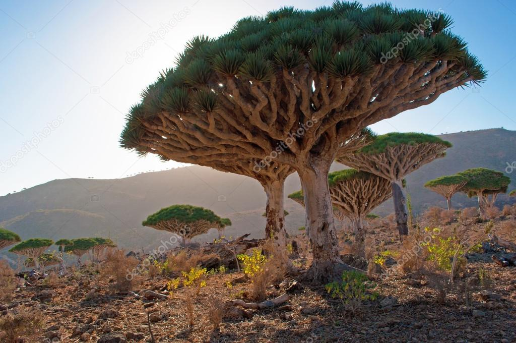 Dragon Blood trees in the sunset light, Dirhur, forest, in the protected area of Dixam Plateau