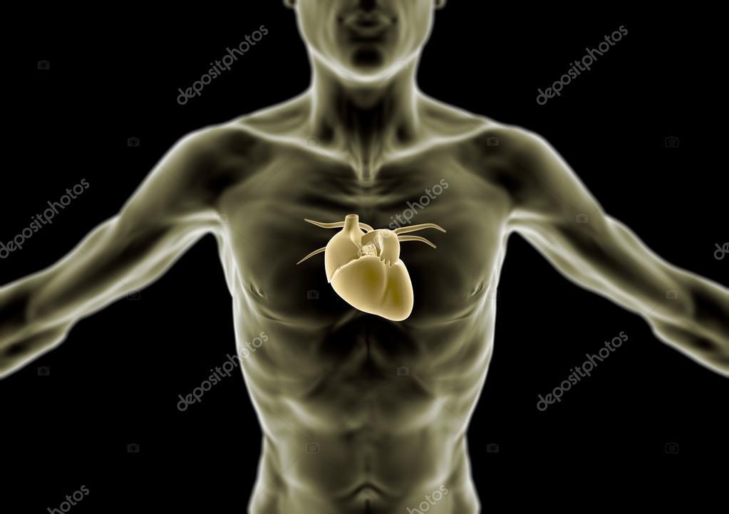 3D Körper, dünne Person, Herz und Anatomie, Röntgendiagnostik ...