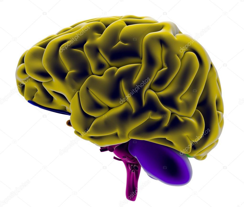cerebro 3D visto desde el lado izquierdo — Foto de stock © vampy1 ...
