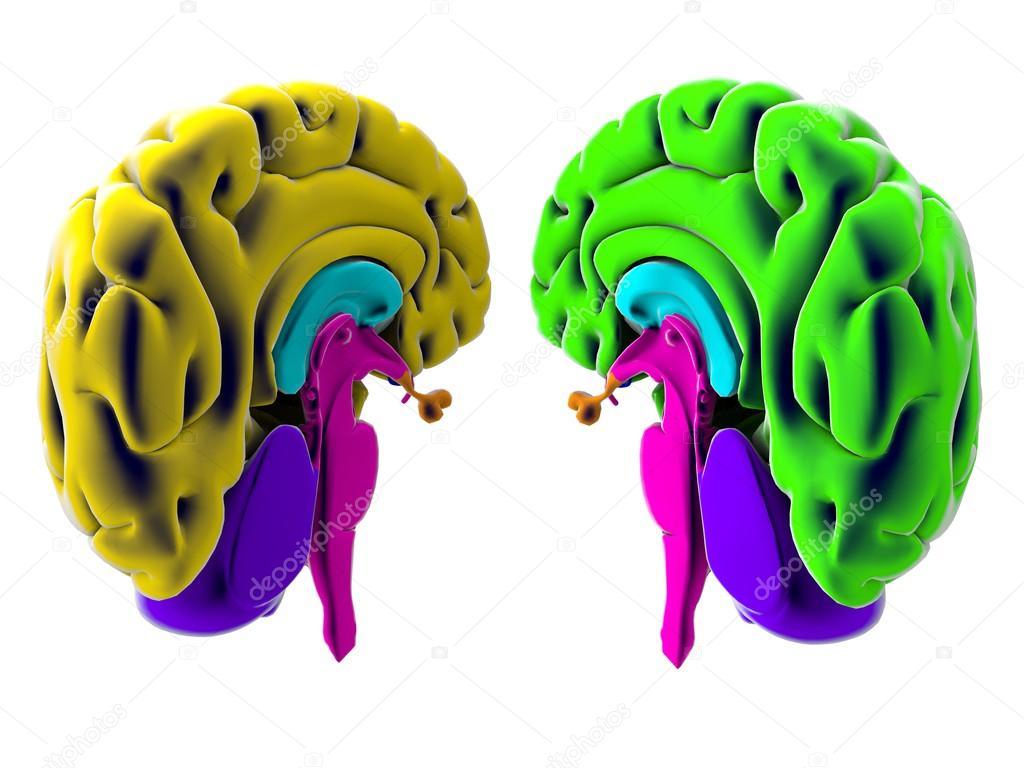3D Gehirn aufgeteilt in zwei Hälften auf weißem Hintergrund ...