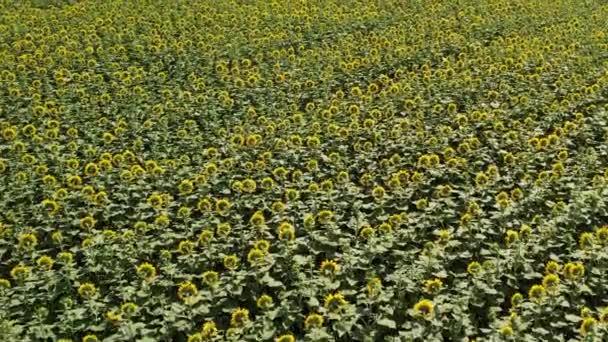 Beautiful fields of blooming sunflowers. Birds eye view of the sunflower fields