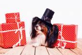 Photo Papillon in  hat with gifts