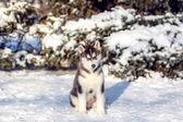 Husky štěně v zimě parku