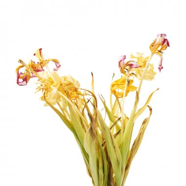 Dried pink and yellow tulip flowers over white background