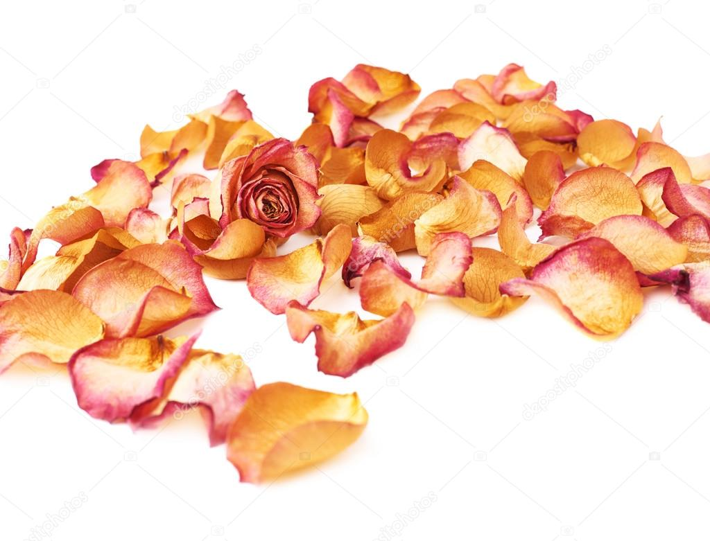 White surface covered with pink rose petals and single bud as a romantic background composition
