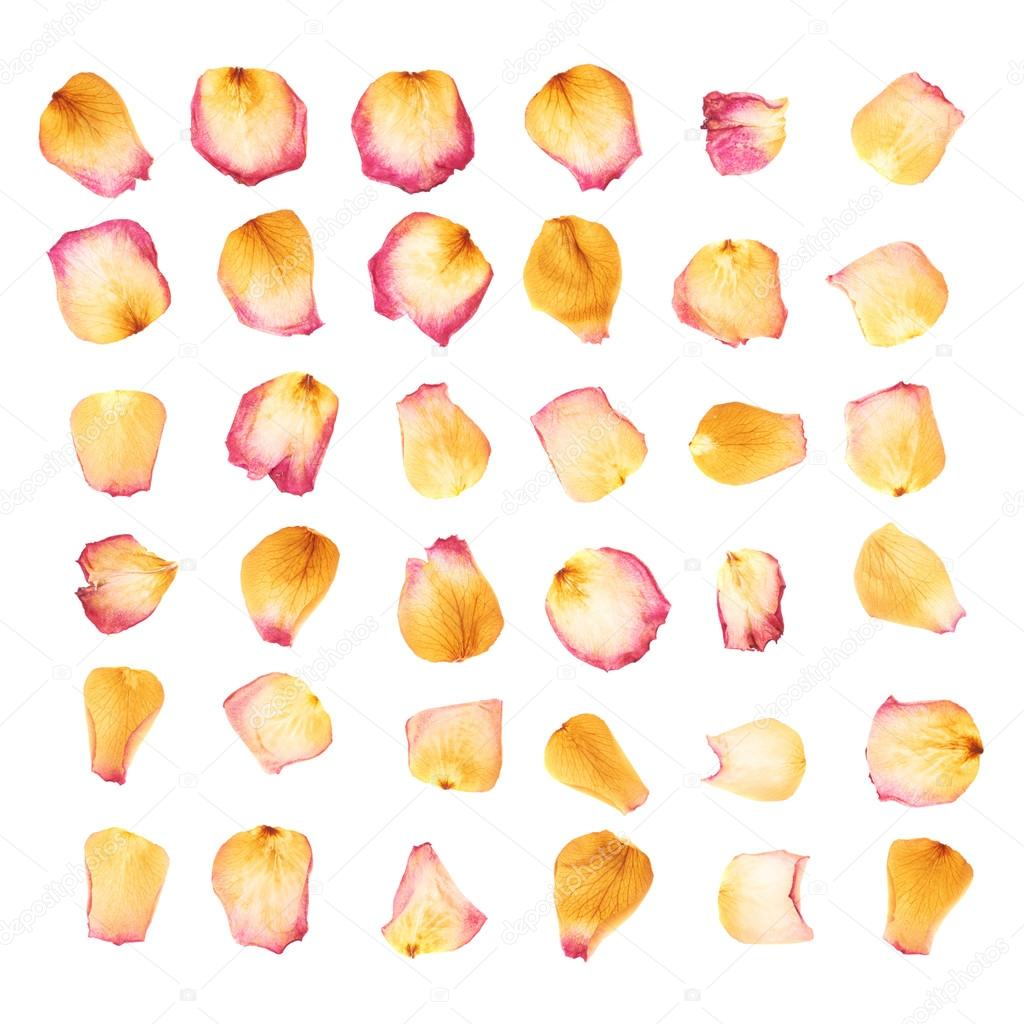 Pink rose flower petals isolated over the white background