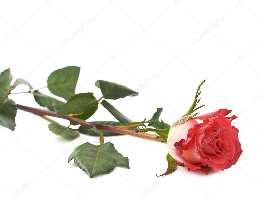 Single red rose isolated lying over the white surface