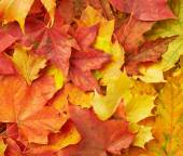 Fotografie barevné Javorové listy