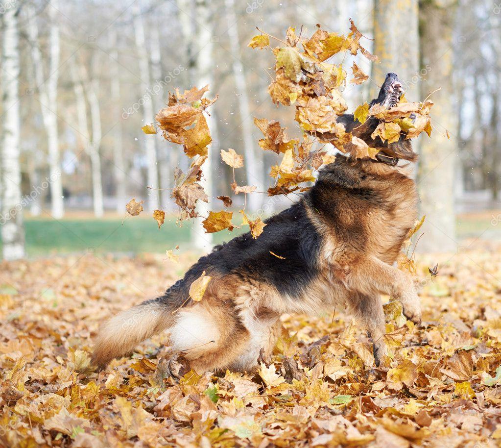 German shepherd dog playing