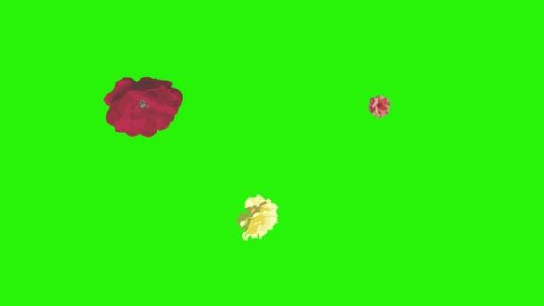 Színes rózsa virágok elemek animáció chroma kulcs, grafikus forrás