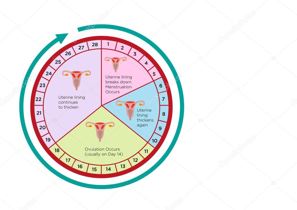 calendrier ovulation de la femme