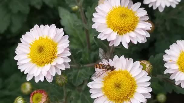 Včela na chryzantémě zblízka sbírá nektar shora pohled. Hmyz opyluje měkké růžové podzimní květy na zahradě. Podzimní květinové přírodní pozadí. Květiny houpající se ve větru.