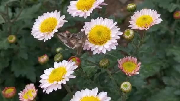 Moth na chryzantému zblízka sbírá nektar pohled shora. Hmyz opyluje měkké růžové podzimní květy na zahradě. Podzimní květinové přírodní pozadí. Květiny houpající se ve větru