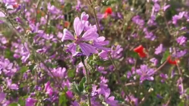 Fialové květy Malva nebo mallow squat lat. Malva Pusilla. letní pozadí jasných divokých květin na poli. Tráva na slunci. Alternativní medicína a homeopatie. Koncept kvetení