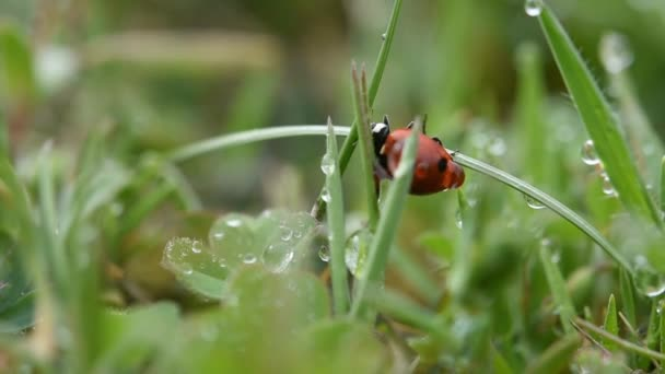 A ladybug on the green grass with dewdrops on it. The concept of morning freshness. Natural macro background. Amazing microcosm. A red ladybug quickly runs away along the stem of a blade of grass.