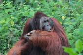 Fotografie The legendary alpha male Borneo Orangutan (called Richie) at the