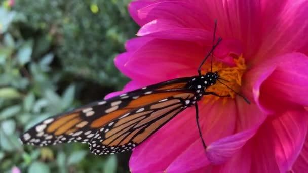 uralkodó pillangó táplálkozás a nektár a virág beporzó természet
