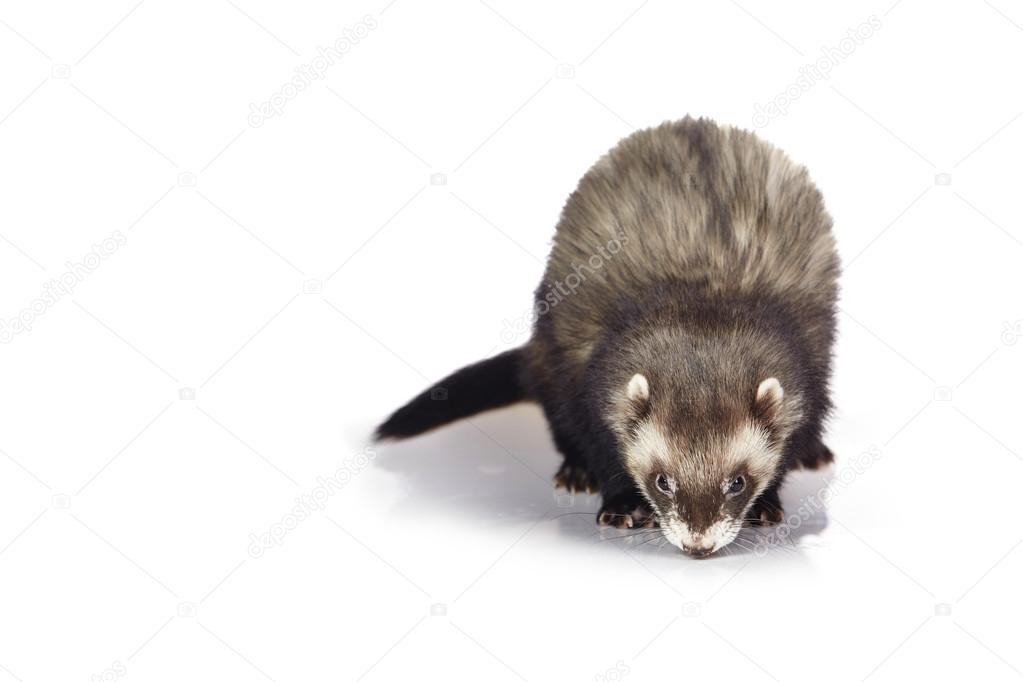 Natural polecat color male ferret in studio on white background