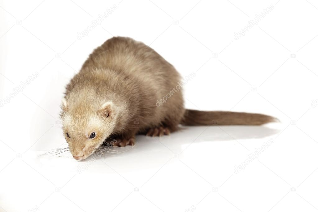 Chocolate color ferret female on white background