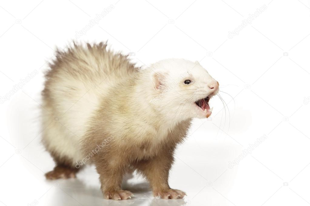 Champagne color ferret female on white background