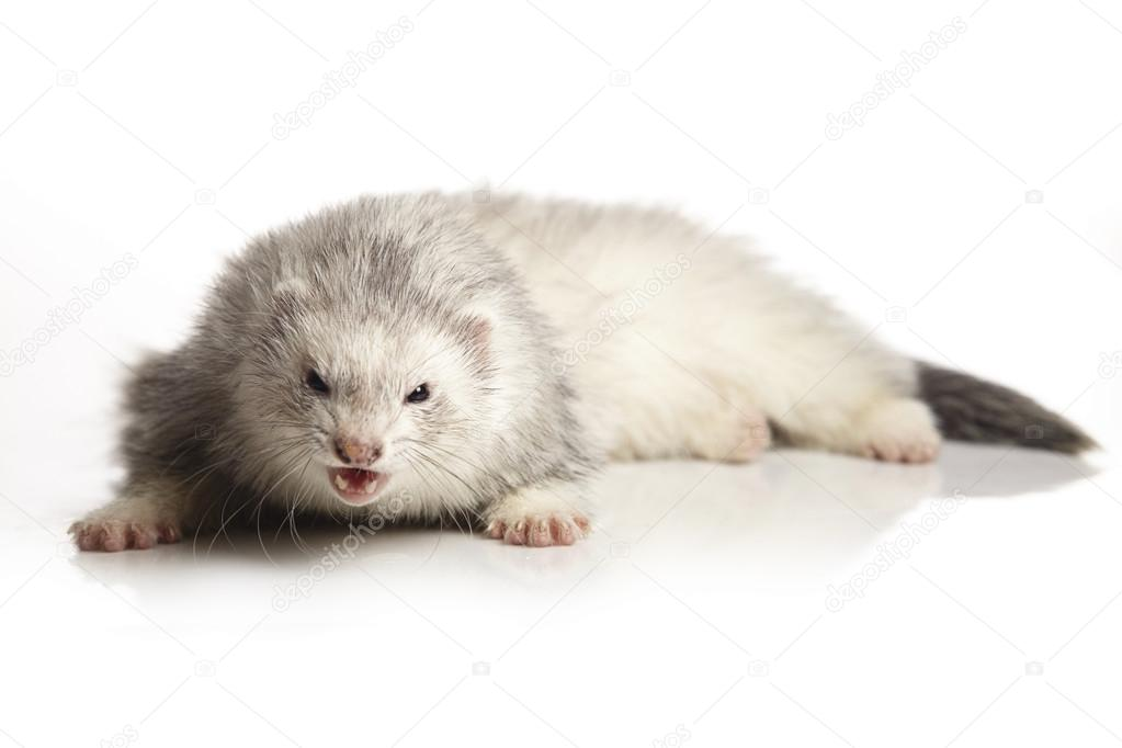 Silver ferret beauty on white background