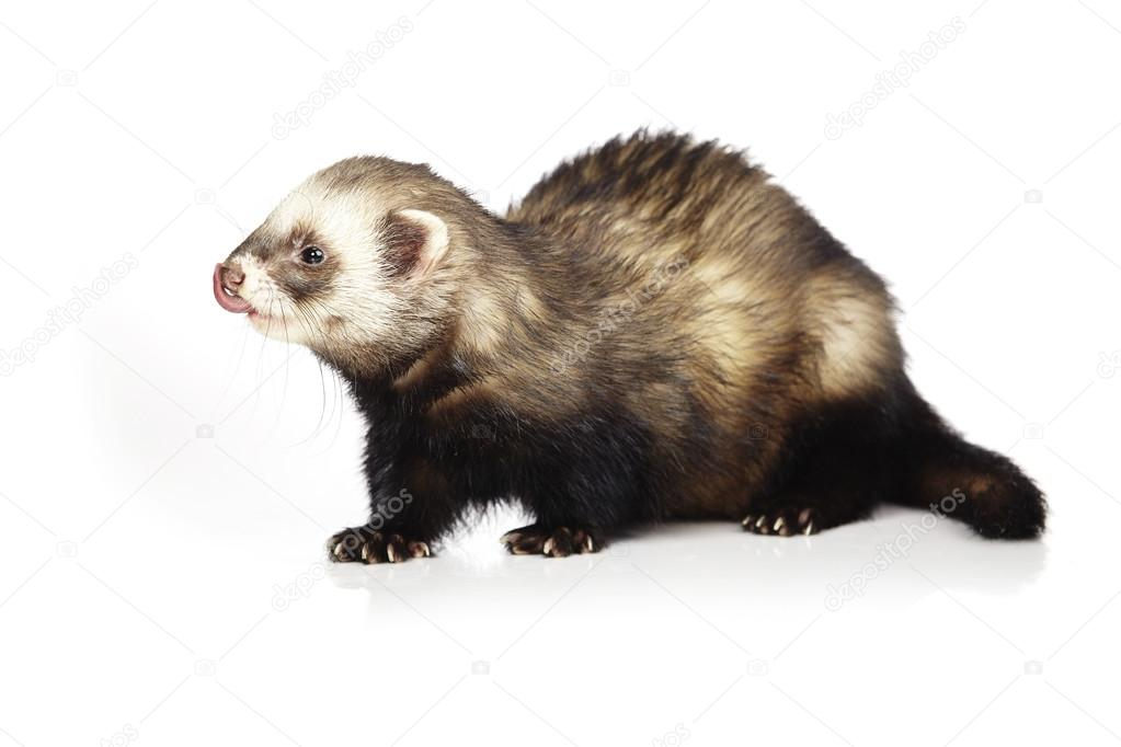 Natural color ferret male on white background