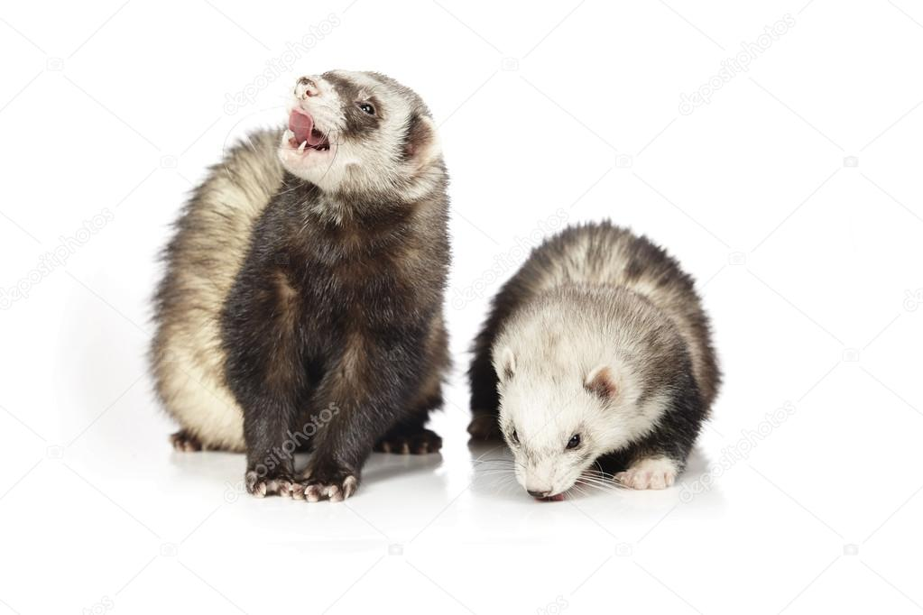Funny couple of ferrets on white background