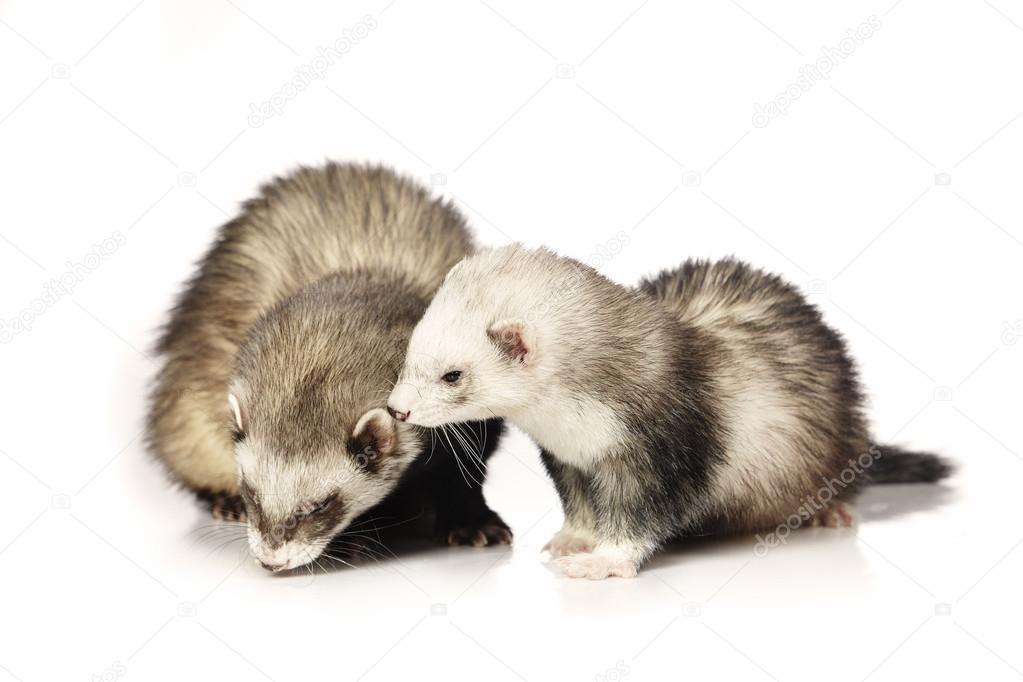 Couple of ferrets in studio