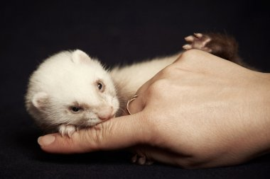 Little ferret baby fights with hand