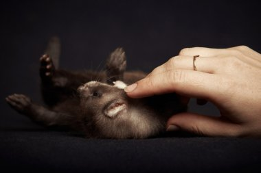 Playing with ferret baby