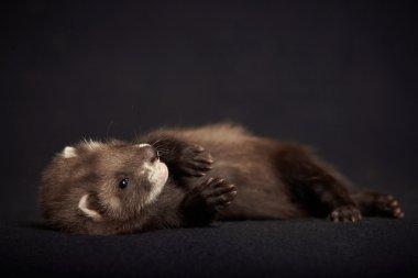 Ferret baby of dark color
