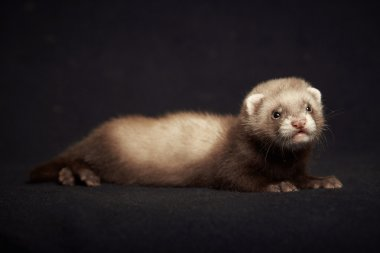 Young ferret baby posing for portrait