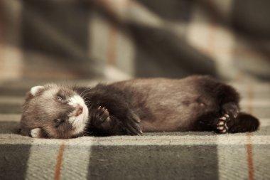 Ferret baby on blanket