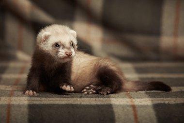 Posing ferret bon blanket