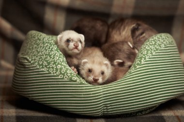 Young ferrets in bed