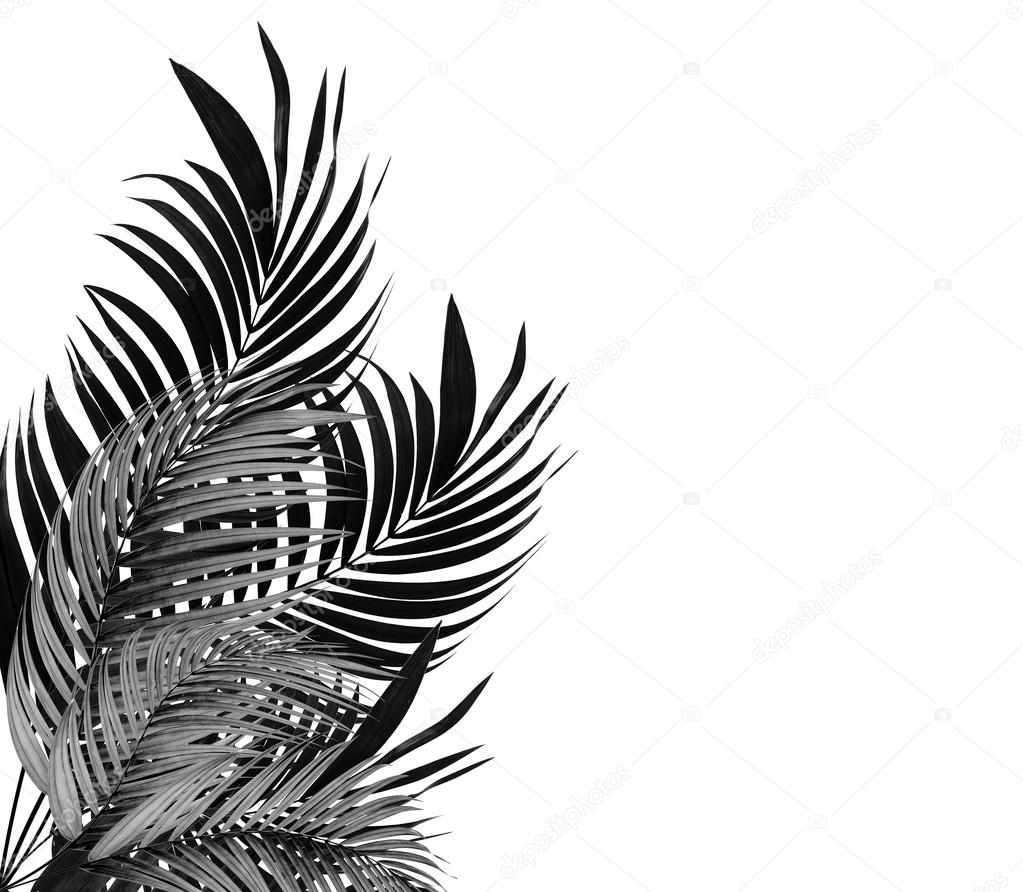 Leaves of palm tree on white background tone black and white stock photo